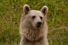 Brown Bear Portrait Stock Images
