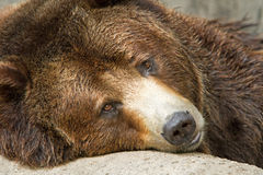 Brown Bear Portrait Royalty Free Stock Photo