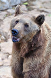 Brown bear portrait. Stock Image