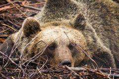 Brown bear portrait Stock Photos
