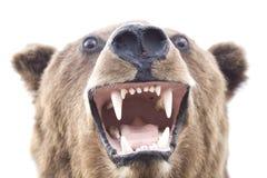Brown bear portrait Royalty Free Stock Photos