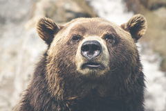 Brown bear portrait Royalty Free Stock Photos