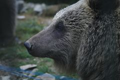Brown bear portrait. Reserve, animal shelter stock photo