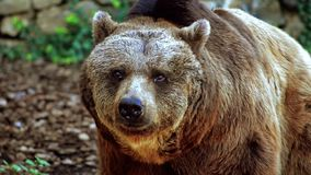Brown bear portrait stock video footage
