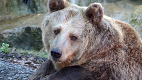 Brown bear portrait stock video