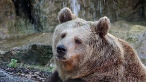 Brown bear portrait stock footage