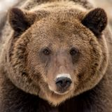 Brown bear portrait. Close up brown bear portrait Royalty Free Stock Photography