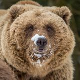 Brown bear portrait. Close up brown bear portrait Royalty Free Stock Photos