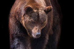 Brown bear portrait. Close up in motion isolated on black background Royalty Free Stock Images