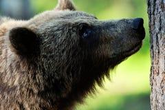 Brown bear portrait Stock Photos