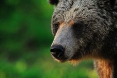 Brown bear portrait. In forest Royalty Free Stock Photos