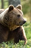 Brown bear portrait in forest, lot of mosquitoes Stock Photos