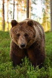 Brown bear portrait in the forest Stock Photography