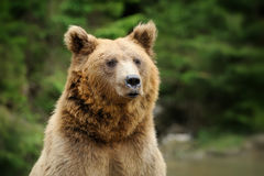Brown bear portrait in forest Stock Images