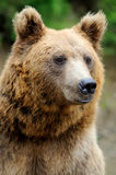Brown bear portrait in forest Stock Photo