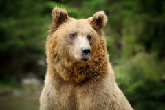 Brown bear portrait in forest Royalty Free Stock Photos