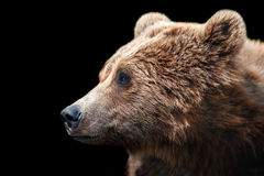 Brown bear portrait. Isolated on black background Stock Images