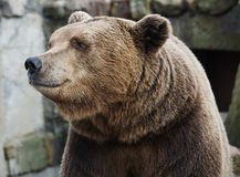 Brown bear portrait. Looking away Royalty Free Stock Photography