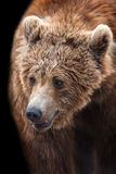 Brown bear portrait. In motion isolated on black background Royalty Free Stock Photo