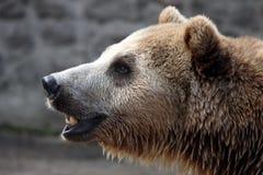 brown bear portret Zdjęcia Stock