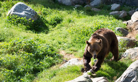 Brown bear is posing on the rock. Royalty Free Stock Image