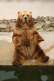 Brown Bear posing in Zoo. A Brown Bear posing at the Riga Zoo sitting on concrete floor Royalty Free Stock Photography
