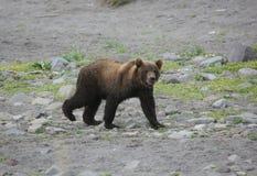 Brown Bear, Predator, Wild Beast Royalty Free Stock Images