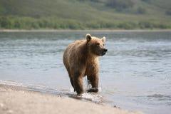 Brown Bear, Predator, Wild Beast Stock Photo