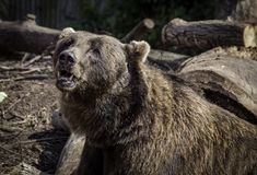 Brown bear profile. Profile portrait of adult brown bear outdoors with fallen logs Stock Photography