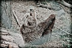 A brown bear pulls his leg. Doing stretching in the zoo Royalty Free Stock Photography