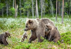 Brown bear with rabbit. Cubs and She-bear of brown bear with prey. The bear holds the teeth of the hare.  stock image