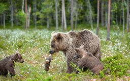 Brown bear with rabbit. Cubs and She-bear of brown bear with prey. The bear holds the teeth of the hare.  stock photography