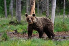 Brown bear after the rain Royalty Free Stock Photography