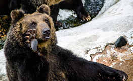 Brown Bear Royalty Free Stock Photography