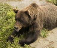 Brown bear Recovering its Strength. A brown bear appears about to snatch a snack of grass at it regains its strength as a temporary visitor to the Alaska Royalty Free Stock Photo