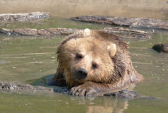 Brown Bear relaxing in water Royalty Free Stock Images
