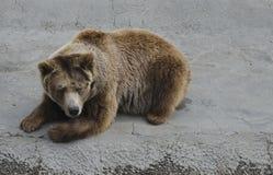 Brown bear rest Stock Photos