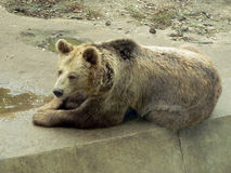 Brown bear resting. At the concrete tile in the zoo Royalty Free Stock Photo