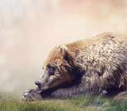 Brown Bear Resting Royalty Free Stock Photo