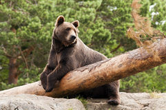 Brown bear. A brown bear resting in a forest Royalty Free Stock Images