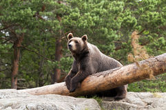 Brown bear. A brown bear resting in a forest Stock Photo