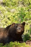 Brown bear resting Royalty Free Stock Images
