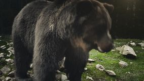 Large adult brown bear rests, close up view. Brown bear resting in the forest meadow. Close up view of wild big male brown bear joyful looking around. Funny and stock footage