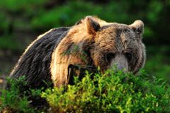 Brown bear resting in forest Stock Images