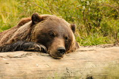 Brown bear resting on a log royalty free stock images