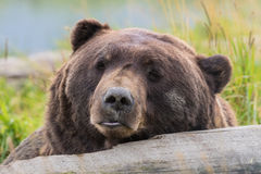 Brown bear Resting on Log Royalty Free Stock Photography