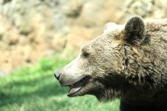 Brown bear while resting in the midst of his natural habitat royalty free stock photos