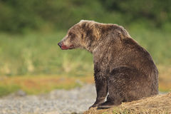 Brown bear resting by river Stock Photography