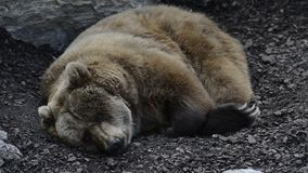Brown bear resting stock video footage