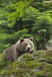 Brown bear resting Royalty Free Stock Photos
